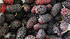 5 benefits of mulberries for skin, hair and health  Learn more: http://www.naturalnews.com/048027_mulberries_diabetes_skin_care.html#ixzz3MGWMZdG3