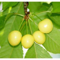 Cherry tree, yellow stones Donissen