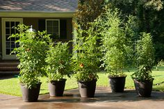 Indeterminate tomato plants need pots that are at least 24 inches in diameter. Be sure to choose a cage that fits inside the pot.