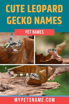 If your Leopard Gecko is the most adorable on the block, then consider looking for cute Leopard Gecko names to suit their adorable nature! When looking for a cute words, the sound is very important too, and that's what we've focused on in our list. Check it out!  #cuteLeopardGeckonames #LeopardGeckonames #cutenamesforaLeopardGecko Cute Pet Names, Funny Names, Guinea Pig Toys, Guinea Pig Care, Hebrew Words, Latin Words, Reptile Cage, Reptile Enclosure, English Word Meaning