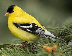 American Goldfinch: American Goldfinch - Male