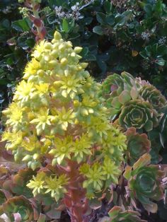 """For some reason, aeoniums do well in my Antioch garden,"" says Home & Garden Editor Joan Morris.  ""They are blooming like crazy with very impressive bloom stalks."""