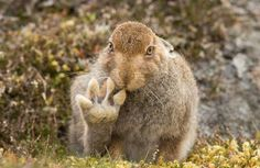 Photographer Andy Howard spent over 5 hours with this mountain hare which appears to raise its paw to say hello in Cairngorms, Scotland. The Comedy Wildlife Photography awards - in pictures Wild Life, Comedy Wildlife Photography, Photography Awards, Animals And Pets, Funny Animals, Cute Animals, Photo Animaliere, Foot Photo, Funny Animal Photos