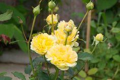 Английские розы Дэвида Остина | lepestok18.ru
