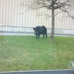 One Wild Boar Might Still be on the Loose