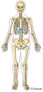 Illustration av ett skelett Body Preschool, Oldest Child, Pre School, Experiment, Kindergarten, Material, Princess Zelda, Children, Illustration