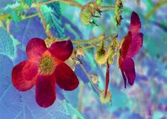 Wild Red Rose -Available As Art Prints-Mugs,Cases,Duvets,T Shirts,Stickers,etc