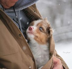 Love the Australian Shepherd pup! Animals And Pets, Baby Animals, Funny Animals, Cute Animals, Animals Images, Cute Puppies, Cute Dogs, Dogs And Puppies, Doggies