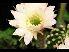 Timelapse fiore Echinopsis