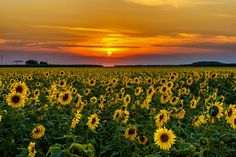 Field of Sunflowers - null