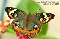 COMMON BUCKEYE BUTTERFLY | Common Buckeye Butterfly - Caterpillars and Chrysalises
