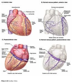 The cardiovascular system the heart good diagrams and overview 5 major coronary arteries middle cardiac vein ccuart Choice Image