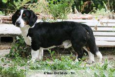 Drever - American Kennel Club