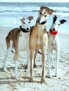 Greyhounds at the beach!