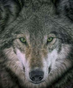 """beautiful-wildlife: """" Gray Wolf Portrait by Rick Mousseau The eyes tell all. Wolf Love, Anime Wolf, Beautiful Wolves, Animals Beautiful, Artwork Lobo, Canis, Wildlife Day, Wolf Eyes, Timberwolf"""
