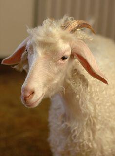 Bonjour! Je suis une chèvre angora. Ne me confondez pas avec le lapin angora, qui produit de la fourrure angora. Moi je produis du mohair, qui est très similaire à de la laine. En général, les vêtements fabriqués avec du mohair sont plus chauds et plus résistants que ceux faits avec de la laine de mouton. De plus, ils ne rapetissent pas au lavage et ne se froissent pas.