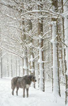 The Largest Irish Wolfhound | Gorgeous Irish Wolfhound | Irish Wolfhounds