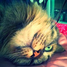 Cu siguranță v-ați întrebat și nu doar o dată de ce este necesar să deparazitam pisicile care trăiesc exclusiv în casă. Primul gând ar fi că, neavând sursă de contaminare, nu necesită deparazitare.…
