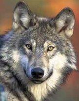 Agency Seeks Input on Wyomings Gray Wolves