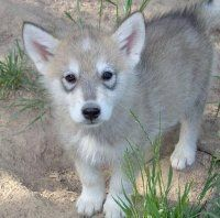 Wolf hybrid puppy. Saving my money for one of these babies :)