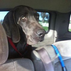 Calvin, 3 y/o, Male, #Weimaraner. Calvin was surrendered to a shelter by his senior owner, who had health problems and could no longer take care of him. We believe Calvin has been an outdoor #dog, as he has characteristic calluses on his elbows and his coat shows signs of sun damage. He is very big – tall and a bit over weight also. He seems like a very sweet, but frightened, #Weimaraner. http://www.doggielife.com/calvin/dogs/BSFEG4