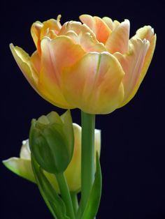 Soft yellow tulips  (by Juergen Roth)