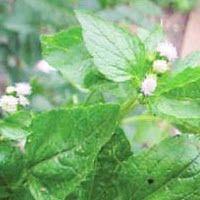 MEDICINAL PLANTS: 10.BANDOTAN / BABADOTAN (Agreratum conyzoides L.)B...