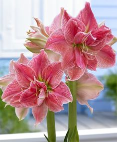AMARYLLIS SWEET NYMPH A van Nieuwkerk prized hybrid, Sweet Nymph has an exuberant semi-double to double form with luscious watermelon-pink flowers accented with darker veins and white highlights. Shade Flowers, Bulb Flowers, Purple Flowers, Beautiful Flowers, Beautiful Beautiful, Orquideas Cymbidium, Bulbous Plants, Amaryllis, Calla Lillies