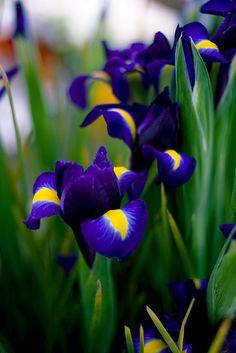 Purple Iris at the Farmer's Market. I like Iris planted near daffodils. I like the dark purple with the sunny yellow. Exotic Flowers, Amazing Flowers, Purple Flowers, Spring Flowers, Beautiful Flowers, Beautiful Gorgeous, Iris Violet, Flor Magnolia, Dutch Iris