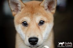 jack the shiba inu pup (via cowbelly pet photography blog)