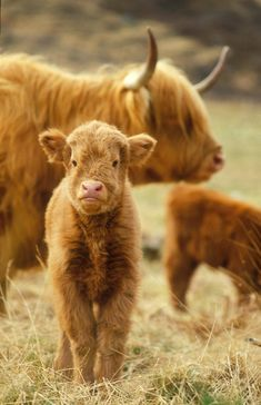 Highland Cattle: cute little calf with mom in the background. Farm Animals, Animals And Pets, Cute Baby Animals, Funny Animals, Wild Animals, Scottish Highland Cow, Highland Cattle, Scottish Highlands, Baby Highland Cow
