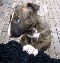 #Bull #Terrier cute #puppy