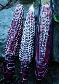 Corn, Double Red Sweet (Zea mays) -GET- 100 days.  This intensely red sweet corn is excellent for eating fresh as corn-on-the-cob or can be dried to make traditional corn bread or posole.  High-yielding, open-pollinated variety adapted to organic culture, producing full ears on short, red-streaked stalks.