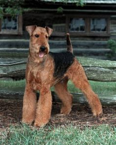 I will own an Airedale Terrier one day...