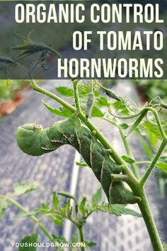tomatoes and finding big green caterpillars on them? Try these organic pest control methods for tomato hornworms.Growing tomatoes and finding big green caterpillars on them? Try these organic pest control methods for tomato hornworms. Organic Gardening Tips, Organic Plants, Organic Vegetables, Vegetable Gardening, Veggie Gardens, Gardening Books, Organic Pesticides, Organic Nutrients, Organic Meat
