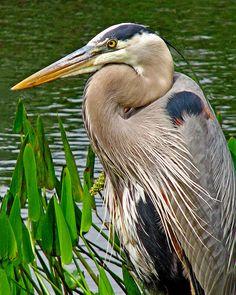 Wonderful portrait of a great blue heron in Florida wetlands. Pretty Birds, Beautiful Birds, Animals Beautiful, Beautiful Creatures, Shorebirds, All Nature, Blue Heron, Big Bird, Sea Birds