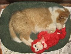 Sheltie puppy sleeping with his monkey