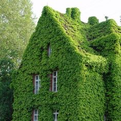 20pcs Virginia Creeper Seeds Vine Parthenocissus Quinquefolia Seeds Can be used for garden entrance, green house walls, park rocks.It can beautify the environment. Visit us today at MerlinsGardenMarket.Com, the best in garden accessories.