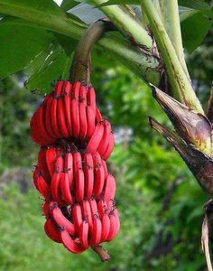 Red Bananas Tree #gardening #garden #gardens #DIY #landscaping #home #horticulture #flowers #gardenchat #roses #nature