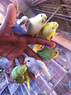 Lots of hand tamed budgies