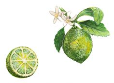 Lime, Commission by Alicia Severson Illustration and Design