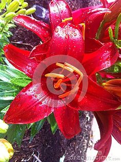 Flower: Red Lily after Spring Rain