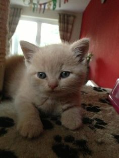 Cutey Hercule 6 weeks old - cream british shorthair kitten