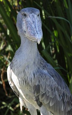 I saw a Shoebill up close and personal at the Aquarium. Mysterious, weird, but awesome.