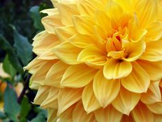 Dahlias - Summer/Fall