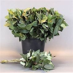 <p> EUCALYPTHUS ROBUSTA is available at wholesale prices & direct UK delivery. Approx. 50cm and wholesaled in Batches of 10 bunches.</p>