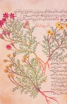 A page from the Herbal of al-Ghafiqi, one of the most remarkable medieval Arabic manuscripts on simple drugs, via Materia Medica. Composed by the celebrated 12th-century Andalusian physician and scholar Abu Ja'far al-Ghafiqi (d.1165)