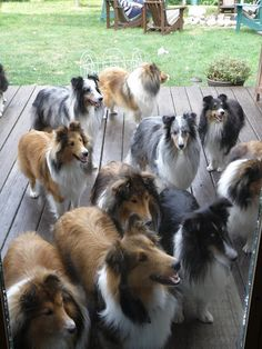 "Click visit site and Check out Best ""SHELTIE"" T-shirts. This website is outstanding. Tip: You can search ""your name"" or ""your favorite shirts"" at search bar on the top."