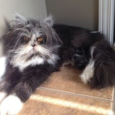 """His name is Atchoum, and the Persian cat has what's known as hypertrichosis — aka """"werewolf syndrome."""" The hormonal condition causes his hair to continually grow super fast."""