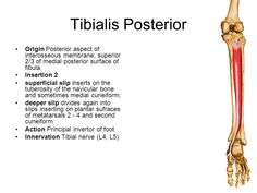 tib post origin and insertion - Google Search
